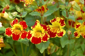 Group of Mimulus