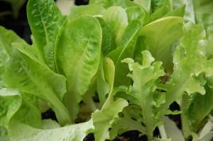 Lettuce 5