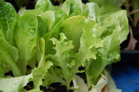 Lettuce 6